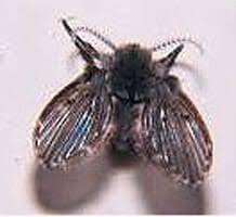 petites mouches cuisine la mouche à drains mouche des éviers ou mouche papillon