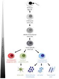 ticeba u003e u003c stem cells