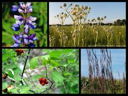native alternatives to invasive plants protecting native plants and animals save the dunes