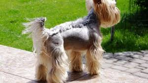 pictures of yorkie haircuts different yorkie haircuts lots of yorkshire terrier hair styles
