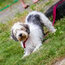 belgian sheepdog dogtime petit basset griffon vendeen dog breed information pictures