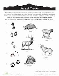 animal tracks worksheet free worksheets library download and