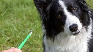 australian shepherd kidney disease lyme disease in dogs symptoms causes and treatment dogtime