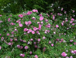 native plants of virginia rosa palustris plena swamp rose in the landscape blooming