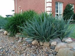 native tasmanian plants dianella caerulea u0027cassa blue u0027 native flax gardening with angus