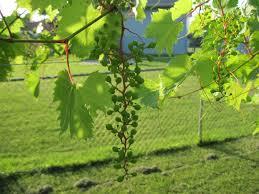 growing grapes in my vineyard