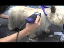 cairn hair cuts cairn terrier grooming instructions onlinegroomingschool com youtube