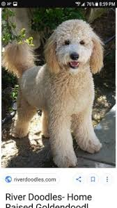 labradoodle hairstyles image result for goldendoodle haircuts doodles pinterest
