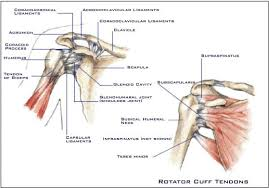 Anatomy Of Shoulder Muscles And Tendons The Shoulder Anatomy Glossary