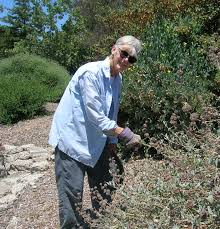 tarweed native plants native plants of california the granada native garden newsletter
