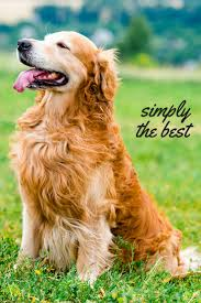 dogs with curly hair and floppy ears the golden retriever the happy puppy site