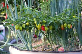 how to grow scotch bonnet and other hot peppers