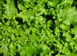 How To Grow Vegetables by Lettuce Growing And Harvest Information Growing Vegetables