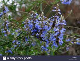 brazil native plants bog sage salvia uliginosa lamiaceae brazil uruguay and
