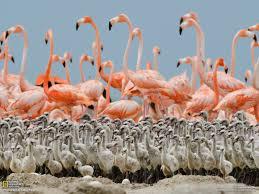 flamingo egg yolks are pink