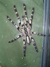 are tarantula bites dangeous sometimes yes that reptile