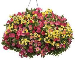 Best Plants For Hanging Baskets by 10 Best Plants For Hanging Basket Gardening