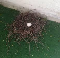 tauben auf dem balkon hilfe taubenei samt nest und zwei tauben auf meinem balkon tiere