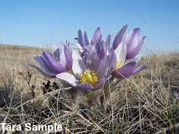 tundra native plants prairie crocus