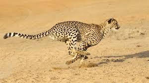 cheetah running ngsversion 1396530527499 jpg