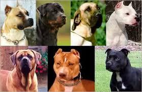 american pitbull terrier 9 meses pitbull com 9 meses