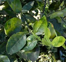 Fruit Tree Identification - how to identify citrus greening a quick visual guide the