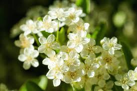 two free photos of some small white flowers www myfreetextures