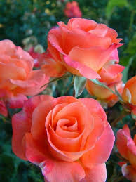 759 best flowers roses images on pinterest pretty flowers