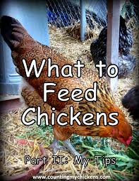 what to feed chickens my tips for feeding your flockcounting my