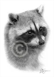 pencil drawing of a raccoon by artist gary tymon