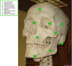 Human Anatomy Skull Bones Bones Anatomy Corner