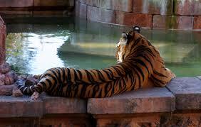 tiger back jpg