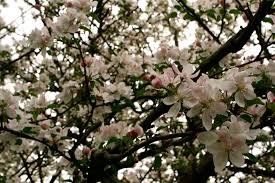 apple tree blossoms flowering tree trees free nature