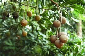edible native australian plants 5 native edible plants for the urban garden urban locavore
