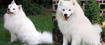 is a american eskimo dog right for me 25 best dog breeds for seniors media