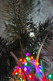 How To Put Christmas Lights On A Tree by Christmas Palm Trees Phillip U0027s Natural World