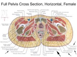Neck Cross Sectional Anatomy 135 Best Anatomy And Physiology Images On Pinterest Human