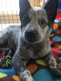 australian shepherd blue heeler this is marley she u0027s a blue heeler pup pics