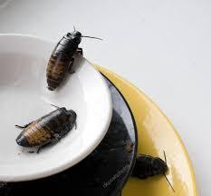 cafards cuisine tas de cuisine sale de vaisselle sale infestée de cafards