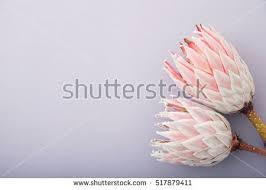 Protea Flower Protea Flower Stock Images Royalty Free Images U0026 Vectors