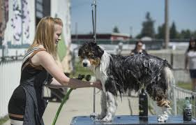 poodles spaniels and more compete in coeur d u0027alene u0027s american