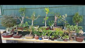 bass n bonsai trees for sale cheap to expensive