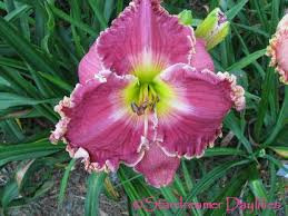 daylilies for sale stardreamer daylilies