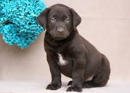 chocolate lab puppies sale hoobly classifieds