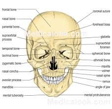 Lab Practical Anatomy And Physiology Anatomy Lab Practical Bones Anatomy Organ