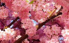 cherry blossom pics missouri cherry blossom festival missouri cherry blossom festival