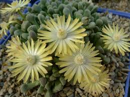 succulents meaning titanopsis world of succulents