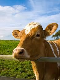 file cow jpg wikimedia commons