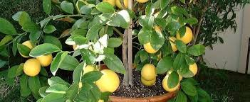 What Fruit Trees Grow In Texas - citrus meyer lemon valley lemon citrus x meyeri u0027meyer u0027
