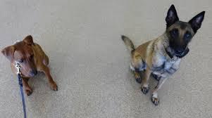 belgian shepherd nc fuquay varina nc dog obedience training